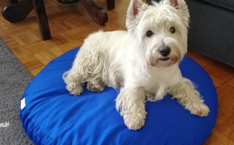Markov, pas iz Beograda